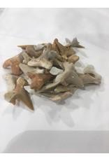 Squire Boone Village Fossil Shark Teeth