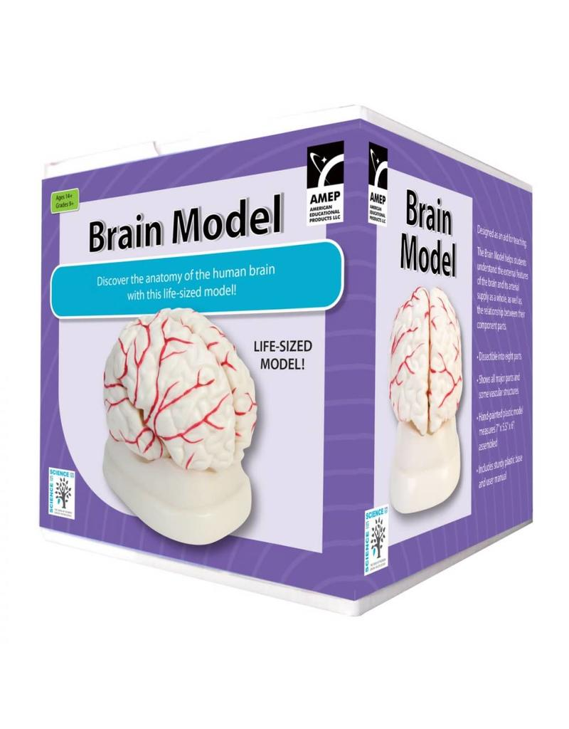 American Educational Products Brain Model