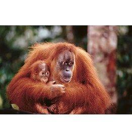 Safari Ltd. Poster - Orangutan with Baby