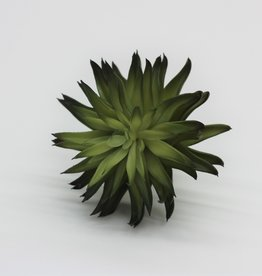 """6"""" Aeonium Pick"""