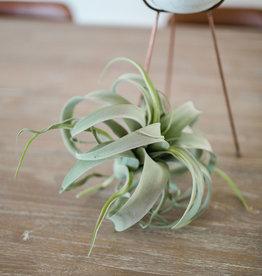 Extra Large Tillandsia Plant