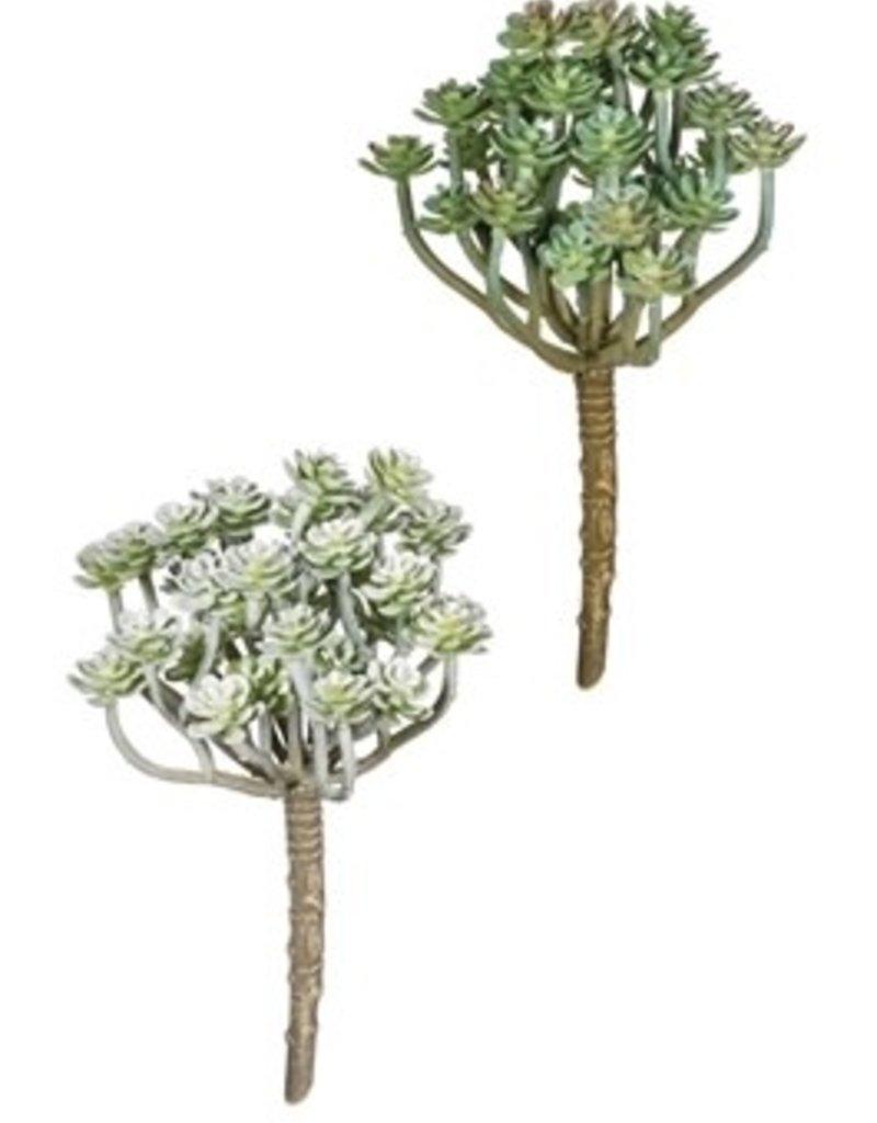 """Aeonium Pick, 7.5""""H"""