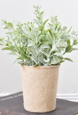 """7.5"""" DUSTY LEAF PLANT IN PAPER POT"""