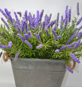 Purple Lavender Bush