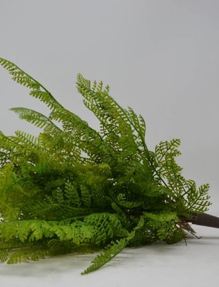 Lace Fern Bush