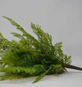 Lace Fern Bush