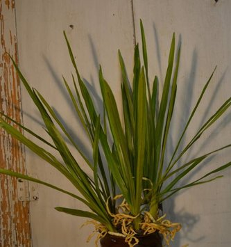Cymbidium Leaf Spray w/ Roots