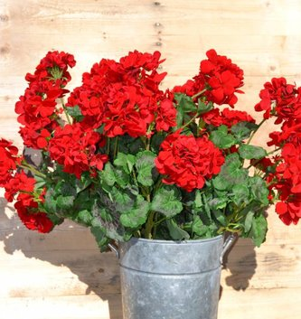 Large Red Geranium Bush