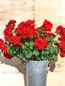 Large Red Geranium Bush