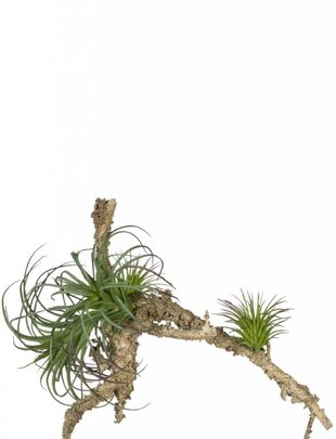 Hanging Air Fern Plants on Branch
