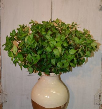Hypoestes Foliage Spray