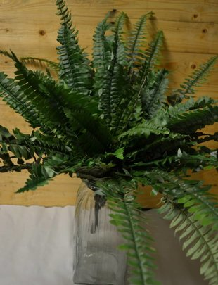 Large Boston Fern Bush