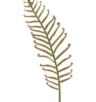 Woods Fern Pick