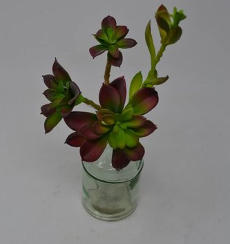 Green Burgundy Sprouting Echeveria Pick