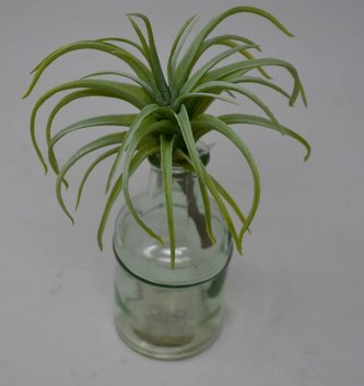 Sage Spider Tillandsia Pick