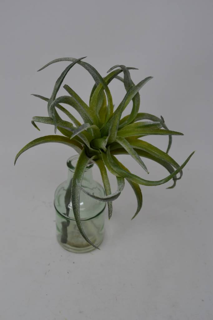"10"" Curly Tillandsia Pick"