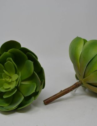 Giant Sage Echeveria Pick