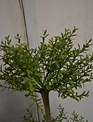 """24"""" Potted Myrtle Topiary"""