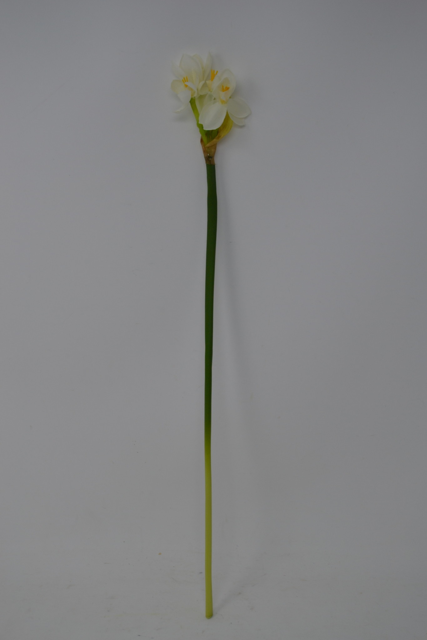 Paperwhite Stem