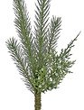 Needle Spruce & Juniper Pick