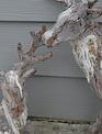 Set of 2 Frosted Bark Reindeer