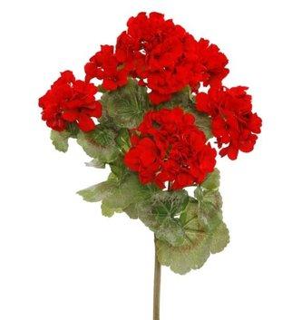 Red Garden Geranium Bush
