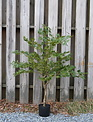 4-ft Potted Green Japanese Maple Tree