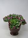 XL Purple-Tipped Sage Echeveria Pick