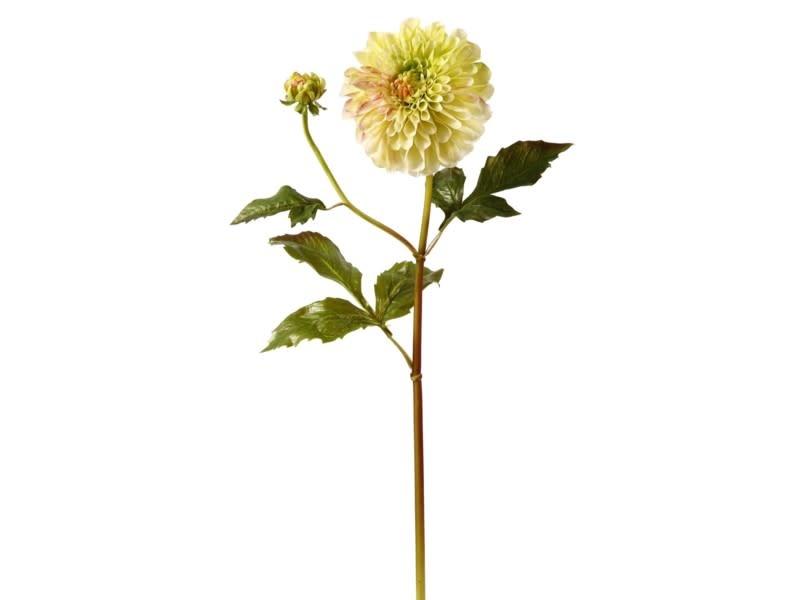 Large Dahlia Bloom