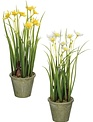 "12"" Potted Narcissus"