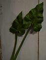 Green Calla Leaf Stem (2 Sizes)