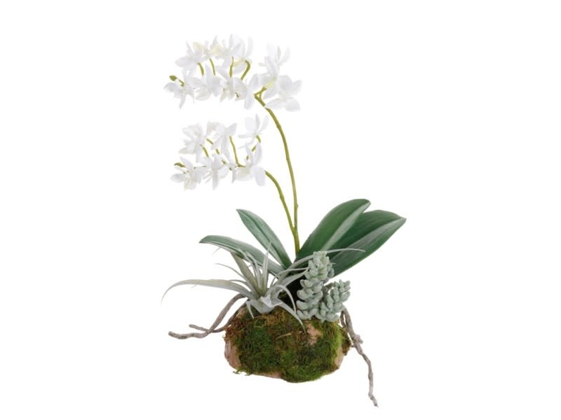 "11"" White Dendrobium & Succulents on Moss"