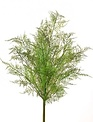 "20"" Asparagus Fern Spray"