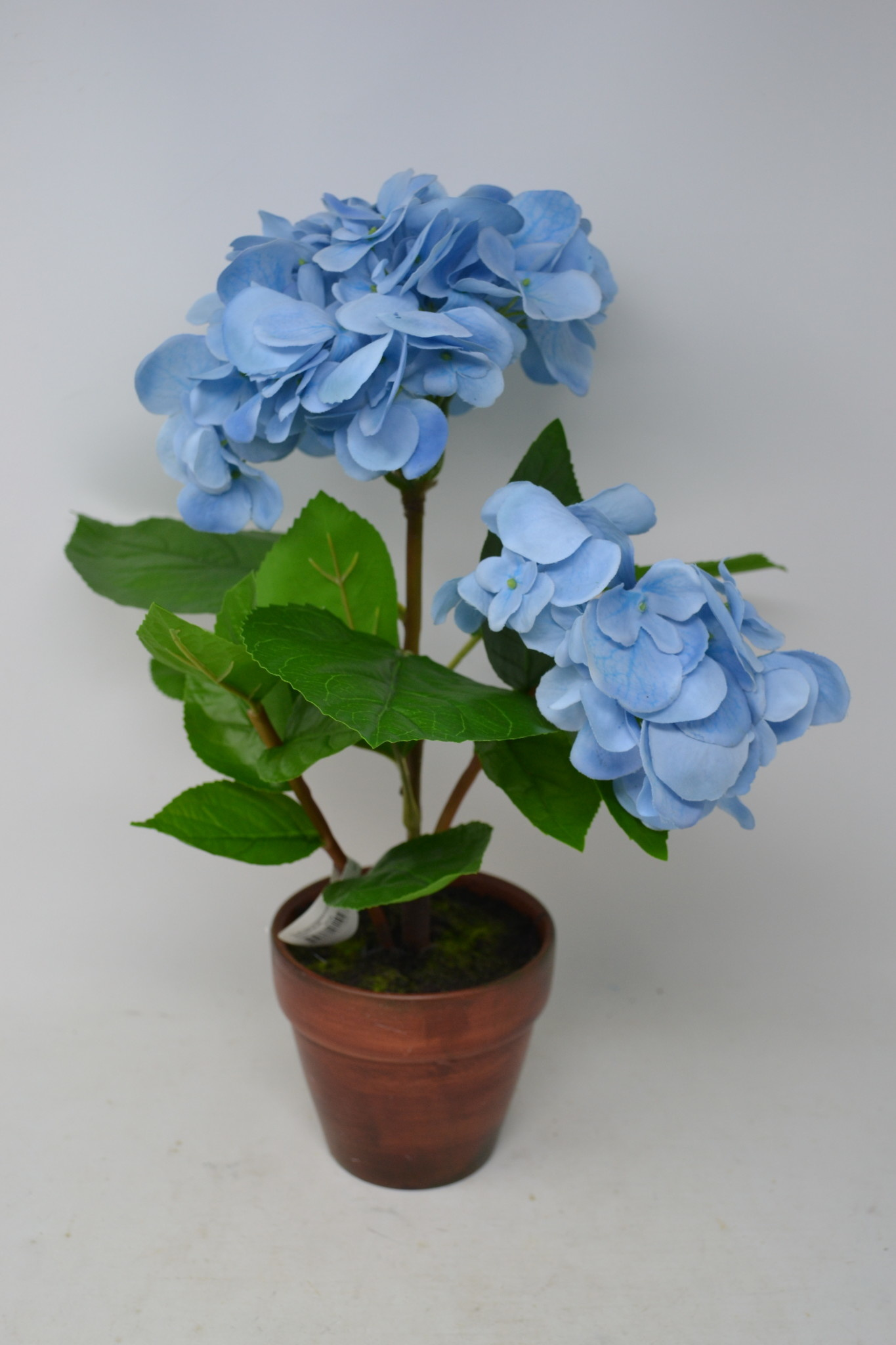 Light Blue Potted Hydrangea Plant