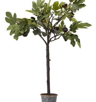 "35"" Potted Fig Plant"