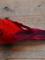 "Large 6"" Clip on Cardinal"