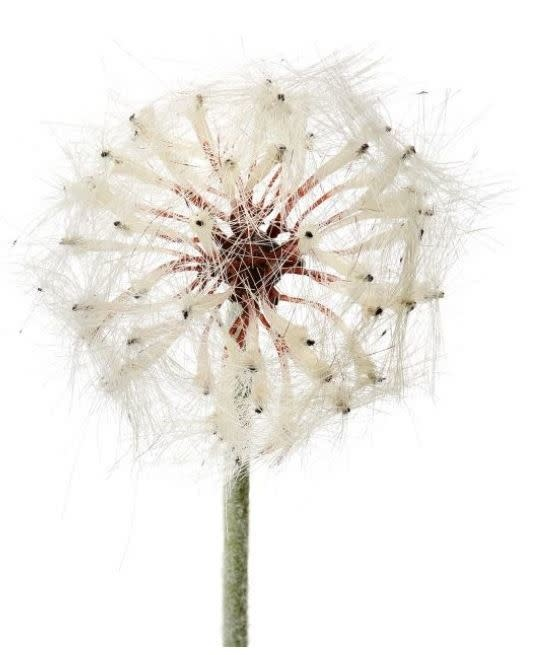 Whimsical Dandelion Spray (2-Sizes)