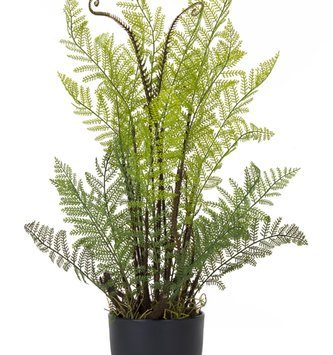 Potted Lace Fern Plant
