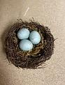 Blue Bird Nest