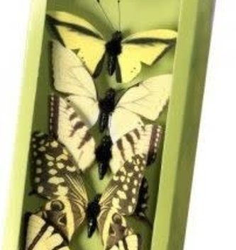 Box of 6 Swallow-tail Butterflies