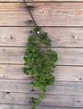 Trailing Aeonium Succulent Spray