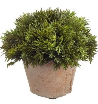 """6"""" Cypress in Clay Pot"""