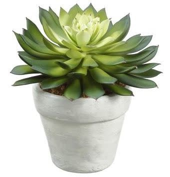 "5"" Echeveria in White Ceramic Pot (2-Styles)"