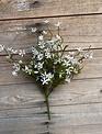 Mini Star Flower Bush