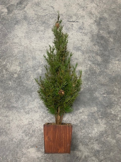 Rustic Christmas Tree in Wooden Container