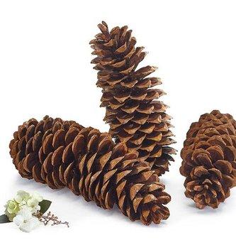 Natural Oregon Pinecone