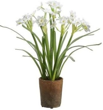 Narcissus in Weathered Pot
