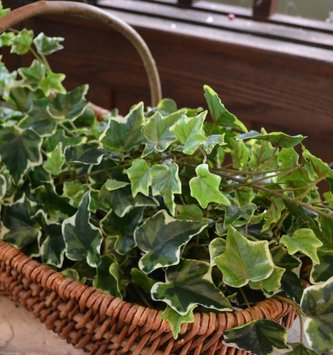 Variegated Ivy Spray