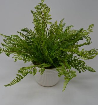 Potted Lace Fern Custom Arrangement