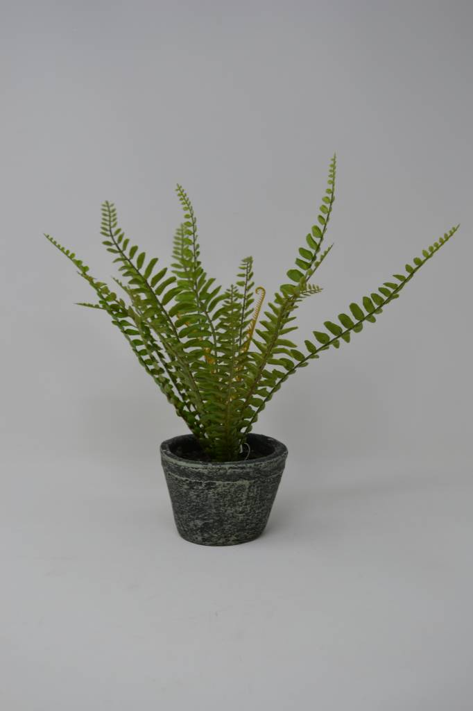 Small Potted Sword Fern